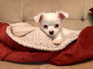White Rare! Male Chihuahua Puppy Available!