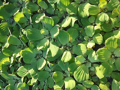 15 + Water Lettuce  Live Floating Aquarium Plants 2 to 5 inches