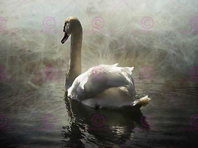 Photography Animal Composition Portrait Swan Lake Mist Canvas Art Print Animal Photography Print