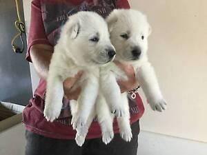 White German (Swiss) Shepherd pups Kin Kora Gladstone City Preview