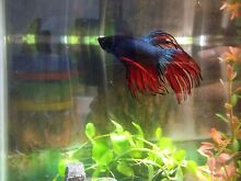 Rare amazing looking playful fighter fish comes with the fish tank Adelaide CBD Adelaide City Preview
