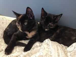 Rescue Kittens Mooloolah Valley Caloundra Area Preview