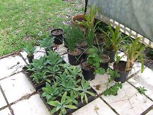 Agave plants and other potted plants Toowoomba Toowoomba City Preview