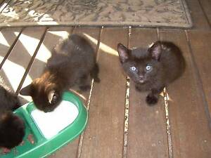 GIVE AWAY - ADORABLE KITTENS Texas Inverell Area Preview