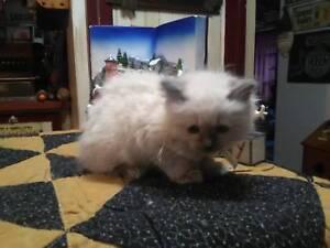 Himalayan Kitten    $500