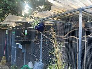 adopting unwanted  or excess birds Werribee Wyndham Area Preview