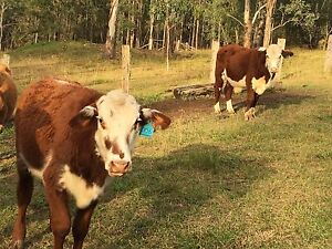 Hereford X shorthorn Barrington Gloucester Area Preview