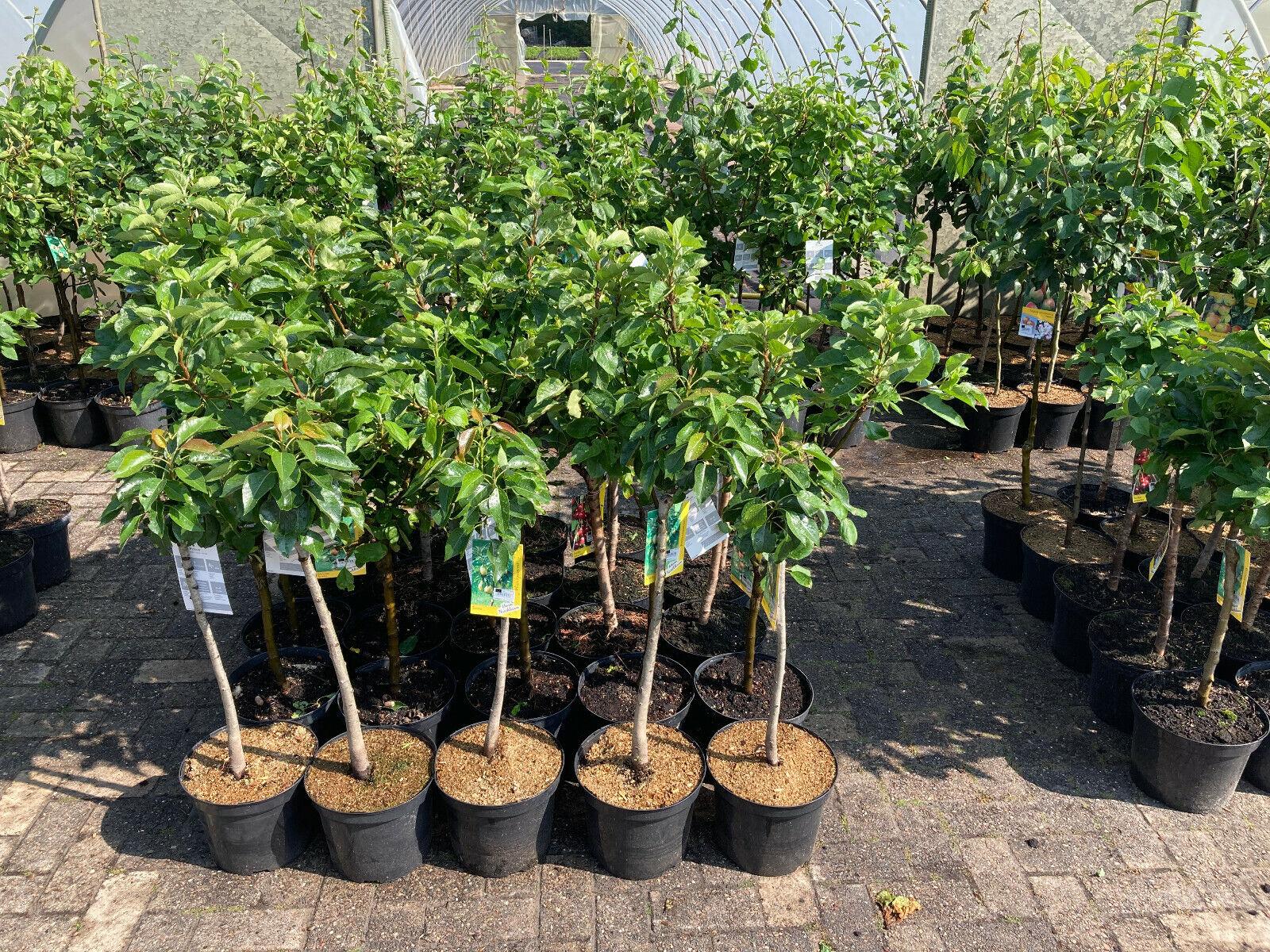 Obstbäume in Sorten: Birnenbaum, Pfirsich, Apfel, Kirsche, Pflaume , Aprikose %