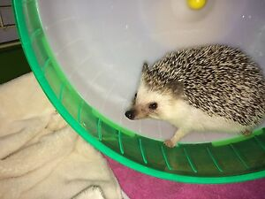 Hedgehog + Cage and accessories
