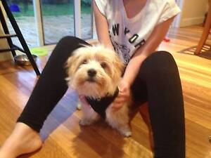 Beautiful family dog for sale Berowra Hornsby Area Preview
