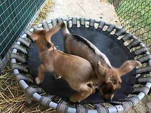 Bottle baby 50% Nigerian Dwarf Goats Tallebudgera Valley Gold Coast South Preview