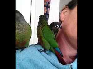 Green cheek conures Helensvale Gold Coast North Preview