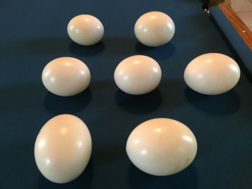 """Ostrich egg cleaned 5 1/2"""" to 6"""" wide authentic real eggshells egg shell"""