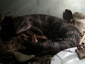 Blue Tongue Lizard - QLD Species, For Adoption Coburg Moreland Area Preview