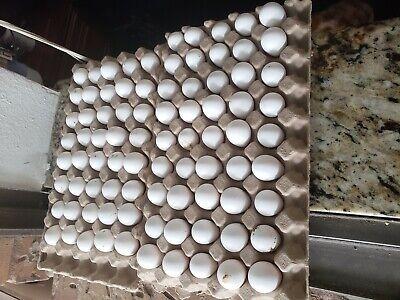 35 Northern Bobwhite Quail Fertile Hatching Eggs