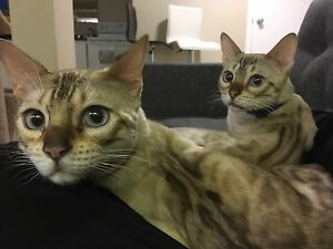 2 yr old male snow bengal  $400