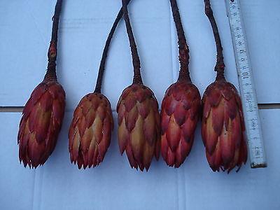 10  Protea Repens rot Großhandel  Sparpack Südafrika Deko Exoten