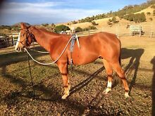 Beautiful quiet qh x paint project horse Mount Colliery Southern Downs Preview