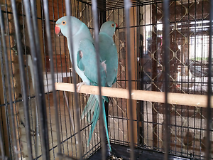 Two Female Indian Ringneck Parrots Liverpool Liverpool Area Preview