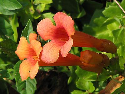 trumpet, or HUMMINGBIRD VINE, orange/ red flower, 40 seeds! GroCo US USA* Red Trumpet Flower