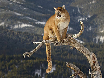 MOUNTAIN LION 8X10 GLOSSY PHOTO PICTURE