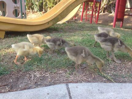 Baby Geese 4 Sale