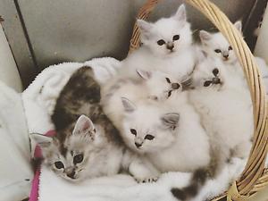Persian Chinchilla x Ragdoll Kittens Denham Court Campbelltown Area Preview