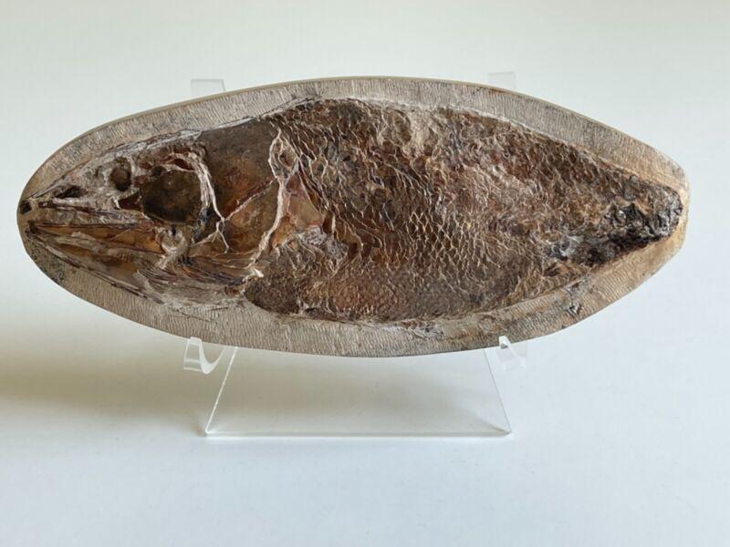Fossil Fish Rhacolepis Agassiz, Cretaceous Concretion, Santana Formation Brazil