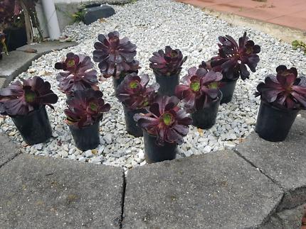 PLANTS dark red succulents
