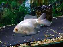 Gorgeous fantail goldfish Cranbourne Casey Area Preview