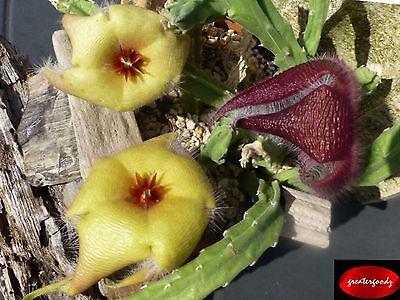Stapelia Asterias Cutting Rare Yellow   Huernia Orbea Succulent Caralluma Cactus