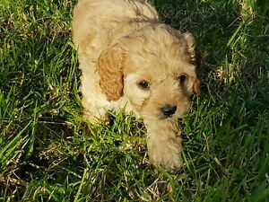 """Puppy nickname """"pia"""" 1st gen toy cavoodle Launching Place Yarra Ranges Preview"""