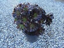 Succulent (Aeonium Arboneum) Kettering Kingborough Area Preview