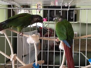 Baby conures ready in time for Christmas