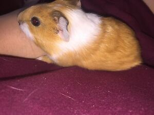 Baby guinea pig Applecross Melville Area Preview