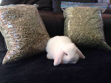 Mini lop rabbit Schofields Blacktown Area Preview