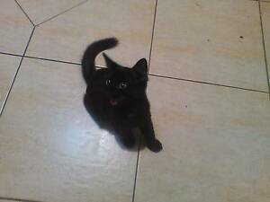 Urgent! Please Adopt This Beautiful Little Black Male Cat Beenleigh Logan Area Preview