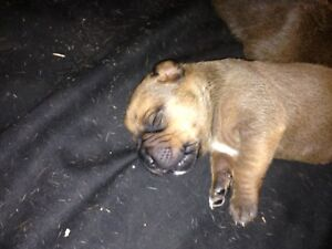 Boxer cross Rotty pups
