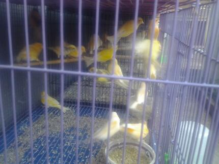 Yorkshire Canaries For Sale hi i Have Canarys For Sale