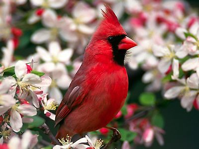 CARDINAL - BIRD 8X10 GLOSSY PHOTO PICTURE
