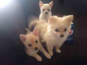 Puppies for sale Buff Point Wyong Area Preview