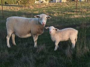 white dorper sheep Whittlesea Whittlesea Area Preview