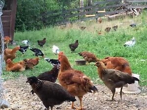 Heritage Chickens