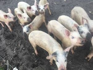 Piglets for sale Busselton Busselton Area Preview