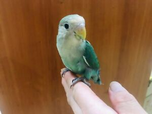 Hand raised Peachface Love bird