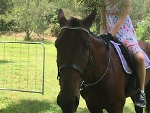 Standardbred 16 hands beautiful well mannered horse Anstead Brisbane North West Preview