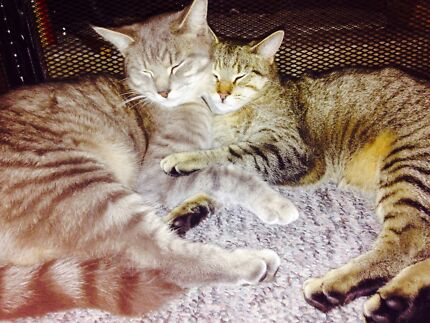 GIVEAWAY 1yo brother sister pair of cats in Armidale Armidale 2350 Armidale City Preview