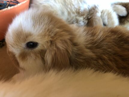 Wanted: Mini Lop Bunny