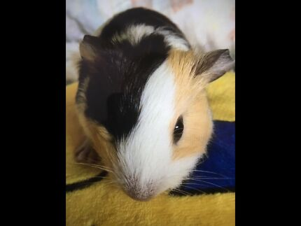 Wanted: Tri-colour male guinea pig wanted