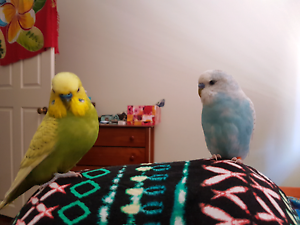 LOST BUDGIE Belmont Belmont Area Preview
